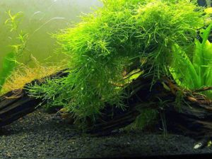 Aquatic Arts Java Moss